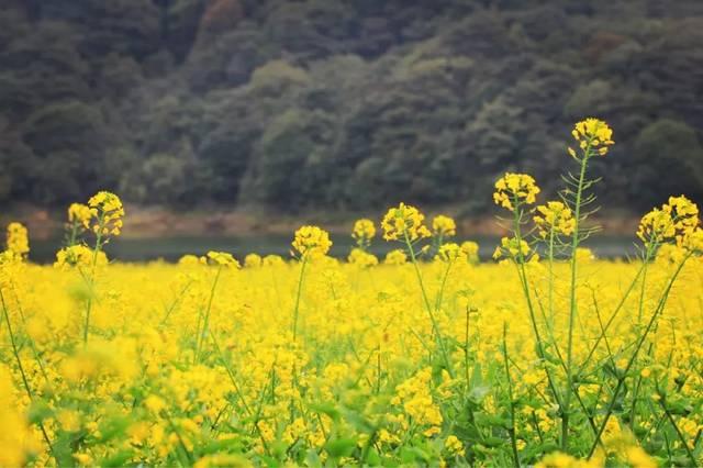 油菜花最佳观赏期为2-3月. 禾雀花(每年3月中旬至4月中下旬)图片