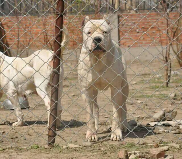 杜高犬,又叫阿根廷獒,它之所以会被培育出来,就是为了狩猎美洲狮和