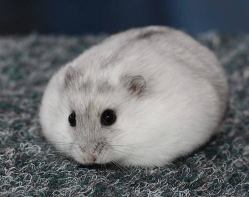 仓鼠仓鼠三线趴趴鼠,一开始较乖,不咬人要看鼠鼠个性而定.颊囊别称一边大一边小图片