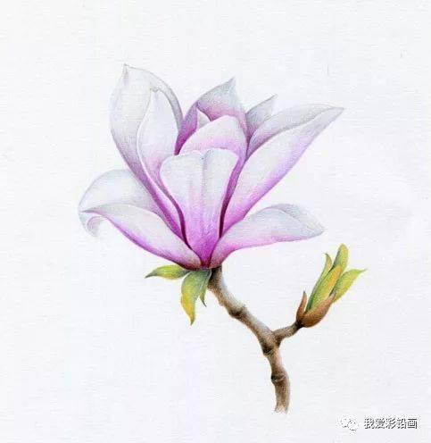 彩铅手绘--玉兰花教程