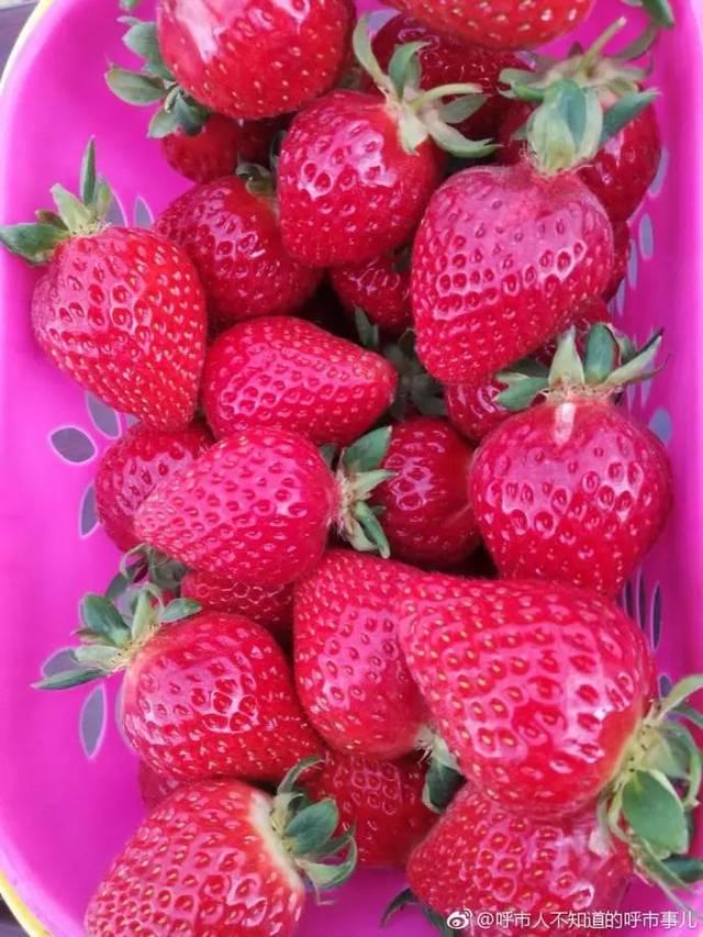 【约起】过个不一样的周末!①呼和浩特第二届草莓文化节开幕啦!吃草莓去~②饕餮福利 呼和浩特龙鱼论坛 呼和浩特龙鱼第10张