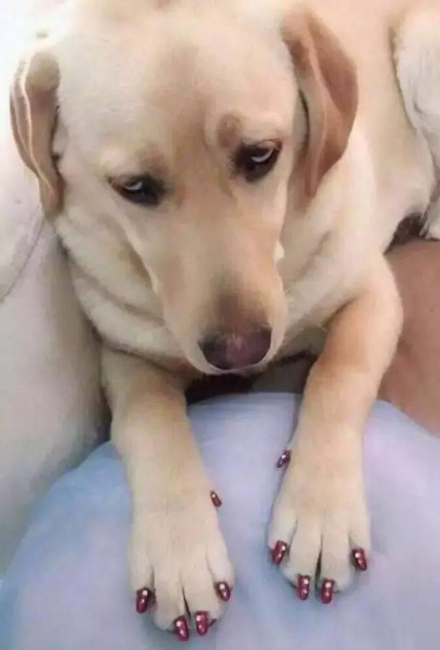原来女朋友给狗狗做了美甲,把狗狗的十个小爪勾都涂上了大红色的指甲