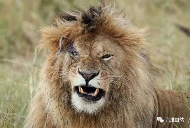 流浪雄狮真以为狮王那么容易当?欺负雌狮不成反被雌狮