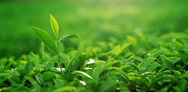 精选6、7万个芽头才出一斤干茶 欲品今年最早、最好的龙顶春茶一定要趁早!