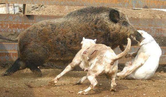 下面我们来介绍一下野猪的三大克星:杜高,比特,卡斯罗 杜高犬大家可能