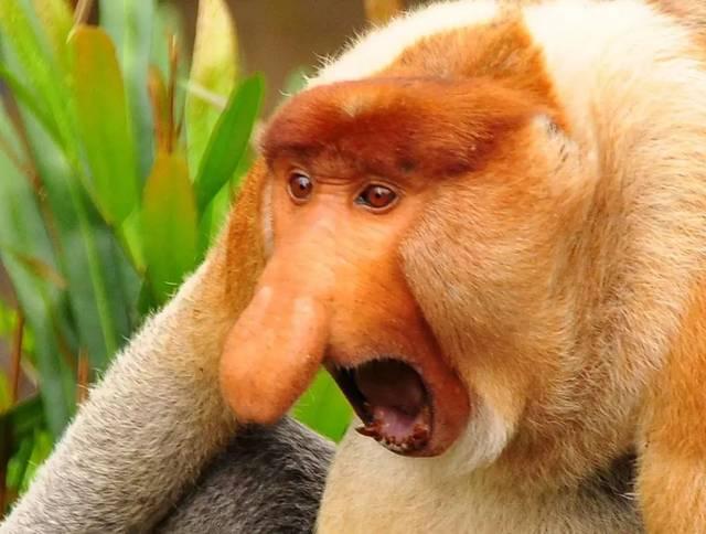 4,长鼻猴