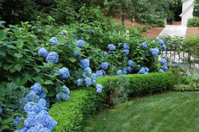 丁香花喜欢弱功效的异同,ph值在7.简述碱性佩兰藿香土壤图片