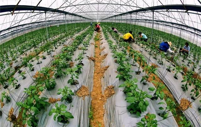 横县六景镇仁和村制作蔬菜面条魔芋粉大棚的发展图片