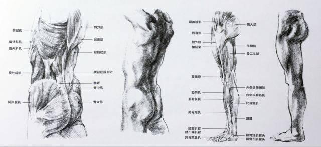 人体的肚子内部结构�_人体躯干及四肢解剖 人体躯干与四肢:人体躯干是速写训练中非常关键