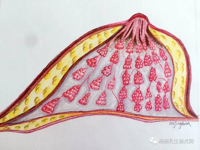 乳房悬韧带: 乳房结缔组织中有许多纤维束,两端分别附着于皮肤和胸肌