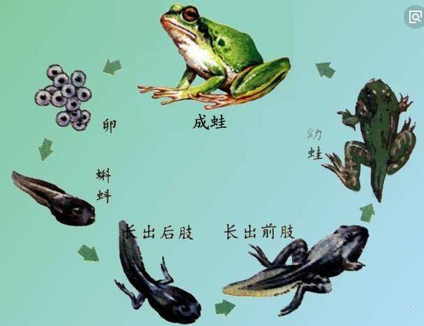 小蝌蚪的生长过程图片大全 动漫资讯  蝌蚪变青蛙的卡通图片 www图片