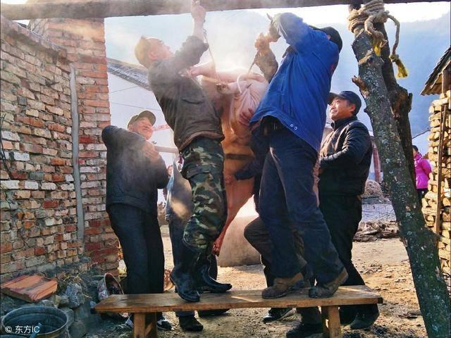 待猪去除猪毛之后就来到了杀猪第六步——开膛破肚,把猪挂在架子上