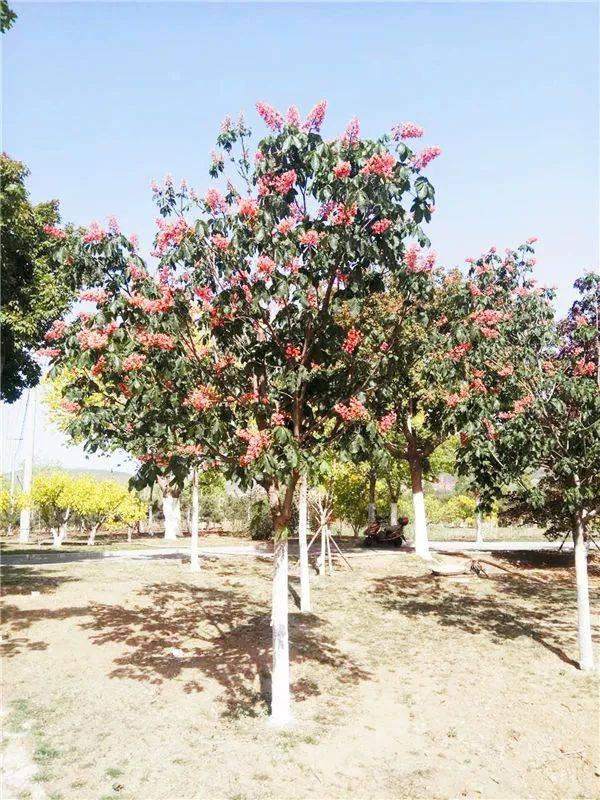 【涨知识】七叶树品种介绍及发展概述图片