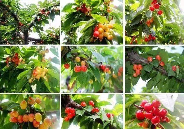 梦见摘樱桃吃是什么意思