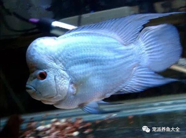 泰国罗汉鱼论坛_【每日一鱼】泰国满银罗汉鱼,又称蓝光,泰国丝绸!