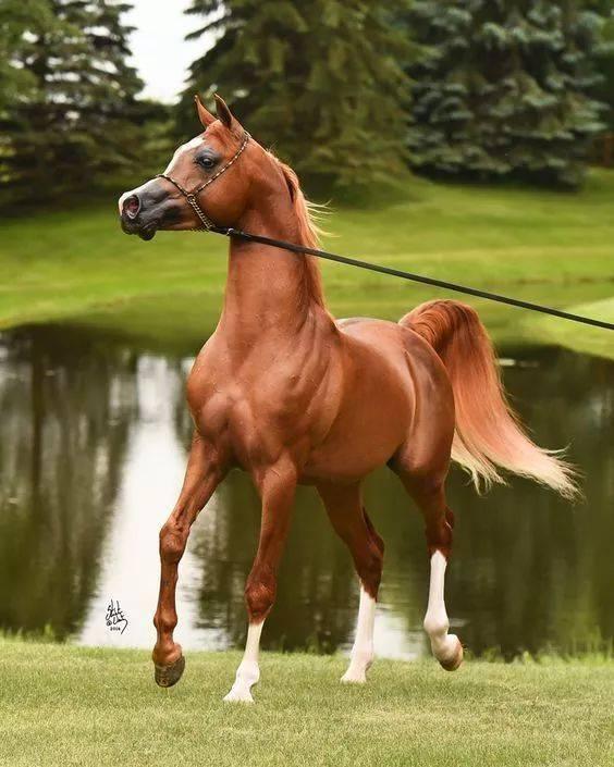 阿拉伯馬歷史悠久,是最古老的馬種之一,歷史中因戰爭和貿易使得圖片
