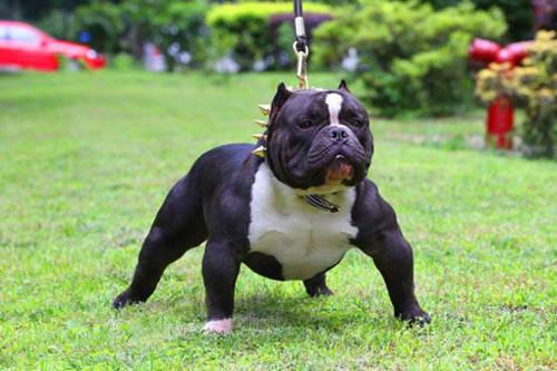 【养狗经验分享】恶霸犬总是走路不稳摔倒,恶霸犬经常图片