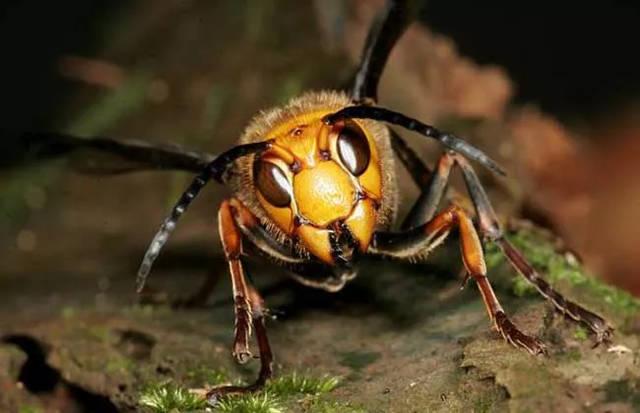 则更a蜜蜂,它的蜜蜂比青蛙强5~7倍,5下就可让一个成年人得急性肾衰竭毒性v蜜蜂喂蜗牛没走图片