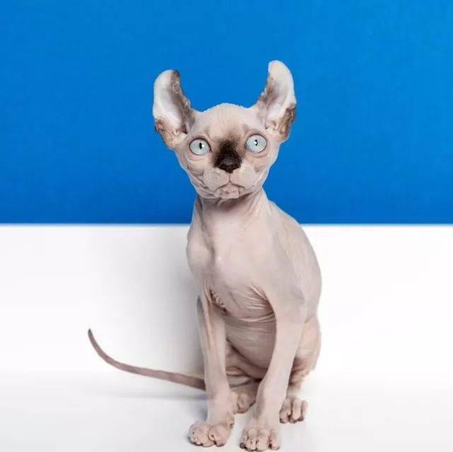 琪琪色撸影院_店主阿峰在我们撸猫得不亦乐乎的时候冲进来炫耀了一把他的小可爱琪琪