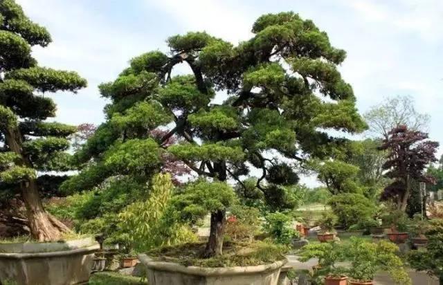 【集一设计】10种最适合做造型的树种,你了解多少?图片