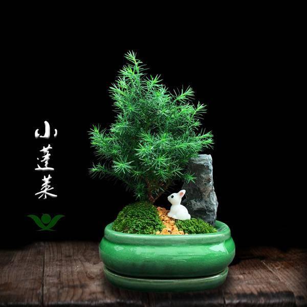 2,针叶植物易散财图片