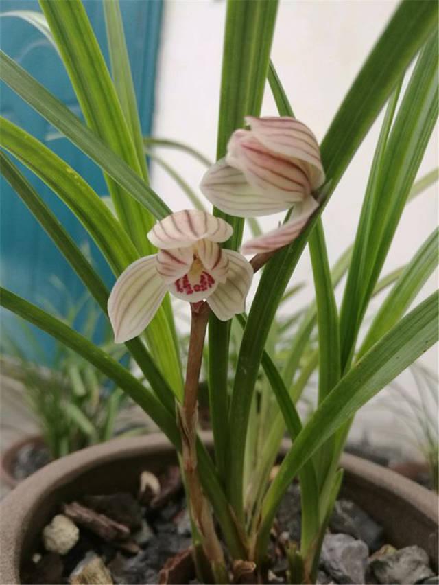 在兰花生长期,每隔10天可用有机液肥兑水灌根,喷叶;兰株已现花蕾时图片