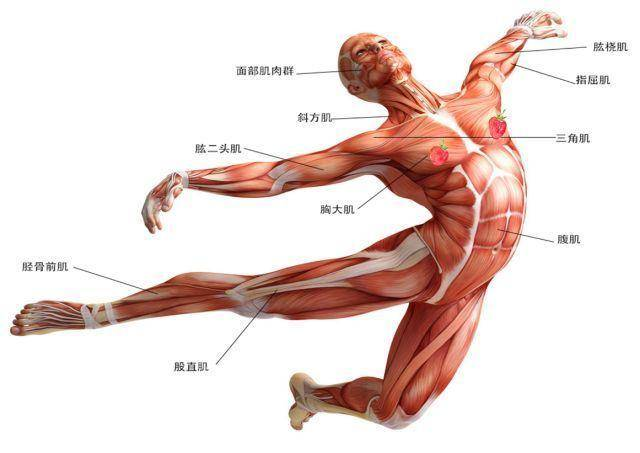 第五夜人体艺术_第五篇: 人体骨骼和肌肉丨阿汤哥美术教程