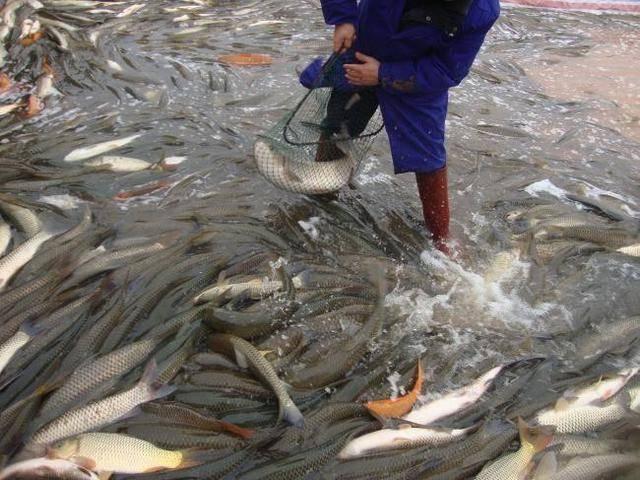 如何养殖鱼+