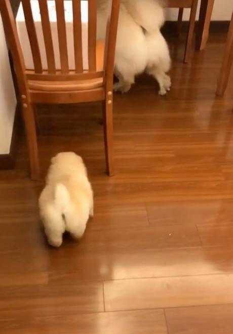 主人家里养了两条松狮狗狗,只是关系并不怎么融洽,小的经常被大的