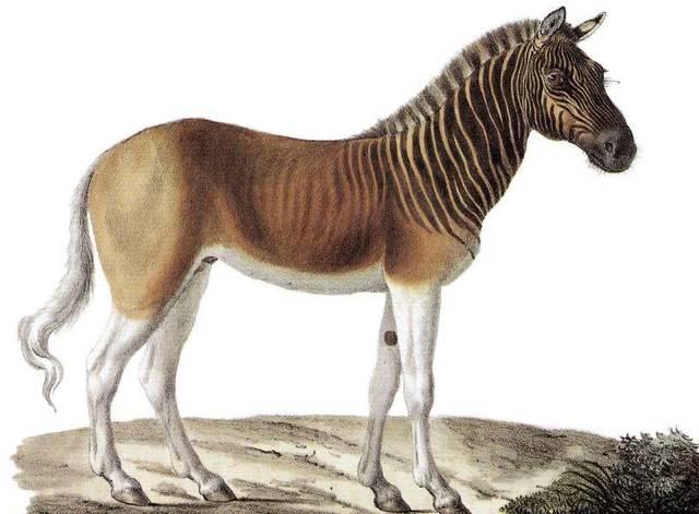 白氏斑马,也叫伯切尔氏斑马或者斑驴,曾经生活在非洲撒哈拉大沙漠