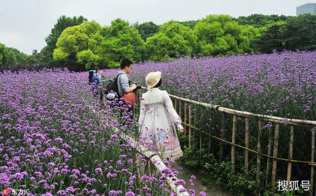 徜徉紫色花海 上海世纪公园马鞭草进入最佳观赏期