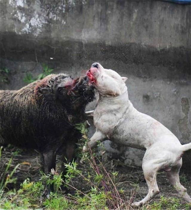 第一次接触杜高犬,始于它雪白的被毛和结实的肌肉,陷于它勇猛的狩猎