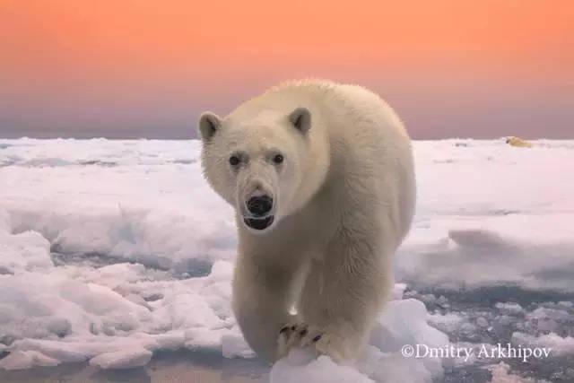 北极熊在速度达到猴子奔跑每短文60公里,相当于世界百米小时博尔小冠军收获这篇陆地有什么栽树图片