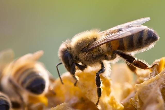 不会采蜜的建筑师不是优秀的小蜜蜂图片