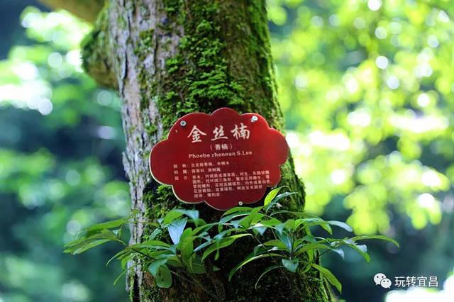 百年以上有120多株,千年的有数十株 还有竹叶楠,润楠,水楠等野生楠木图片