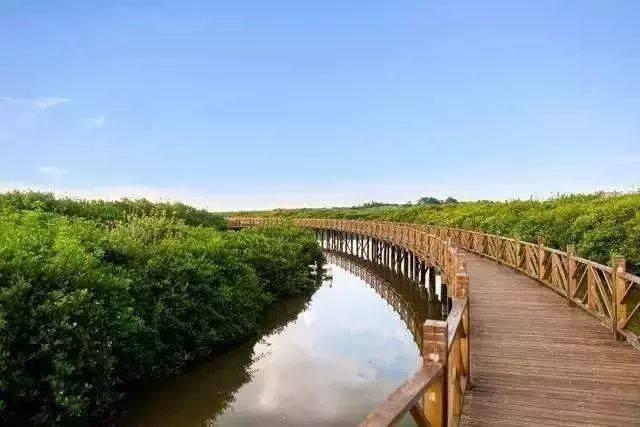 郁郁葱葱的红树林内 木栈道在红树林中延伸 漫步其间可一览亚热带图片