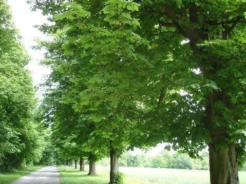 例如,欧美,日本等地就将七叶树作为行道树,庭阴树广泛栽培,而北美洲将图片