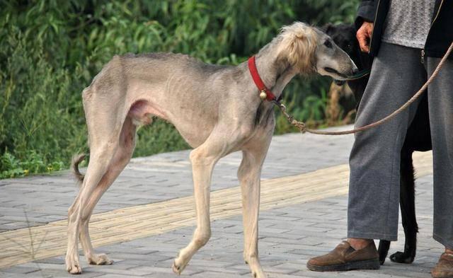 no3:巨型贵宾犬图片