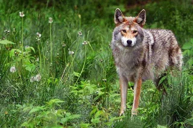 3,游览野狼驯化基地,近距离感受