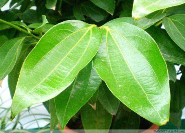 背景 壁纸 绿色 绿叶 盆景 盆栽 树叶 植物 桌面 640_461图片
