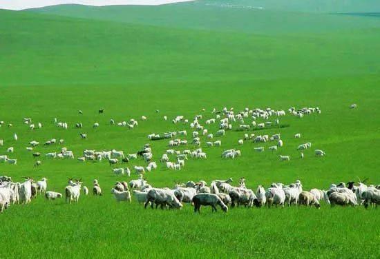 在草原与黄河相依相伴的大自然生态系统中,鄂尔多斯形成了独有的