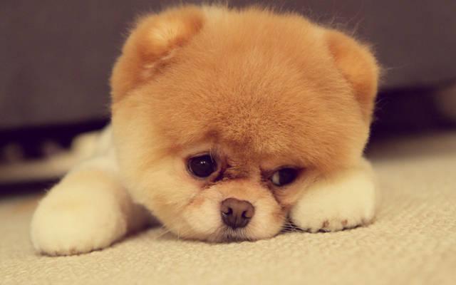 狗老公好粗好烫_便宜点的狗狗品种?