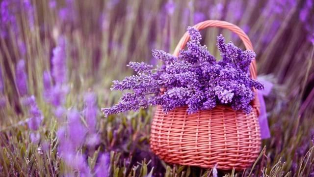 每年的6-8月是薰衣草开放的季节 徜徉在薰衣草的花海中 转身便能嗅到图片