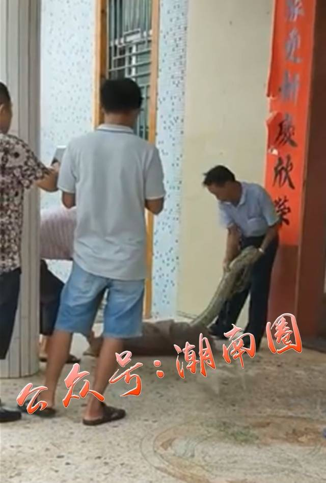6月8日,梅州一村民发现一条大蟒蛇正在偷吃家中鸡笼中的鸡,被发现后这