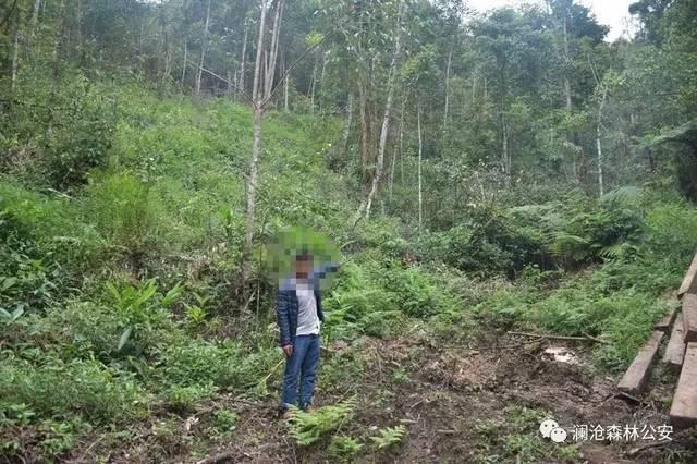 澜沧县森林公安局成功破获一起盗伐林木团伙案!