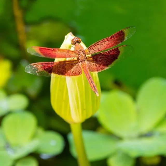 小时候到处都是的蜻蜓,现在到哪里去了?图片