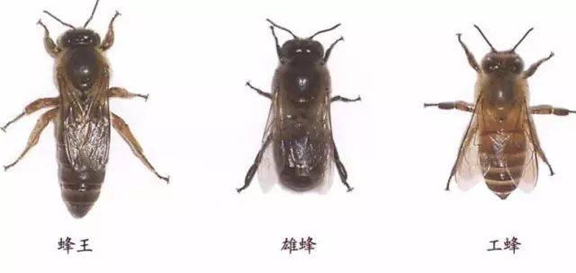 2,工蜂  由受精卵发育成生殖器官发育不完全的雌性蜂,工蜂担负蜂群的