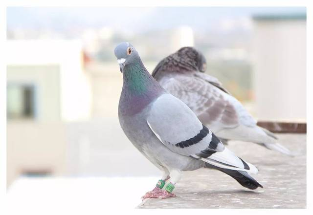 鸟类鸽动物鸟鸽子640_440恐怖兔子事件图片