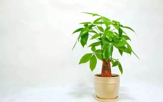 可以把发财树摆放在客厅,不能对着横梁和厕所.