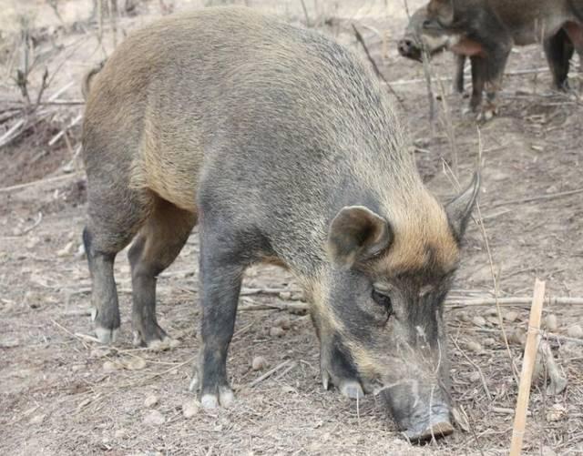 养殖野猪利润高,赵东旭野猪养殖场年入10万
